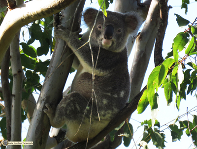 Zorro is an alpha male koala living in the wild