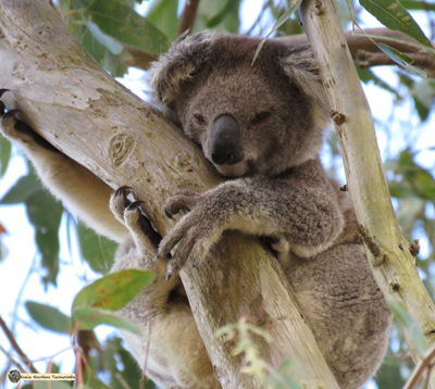 Abby is a young female koala who passed through Koala Gardens in 2016