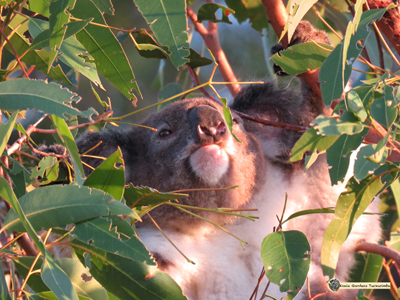 Baffle was a male koala that was on the Koala Gardens property just one day as he moved through the koala corridor.
