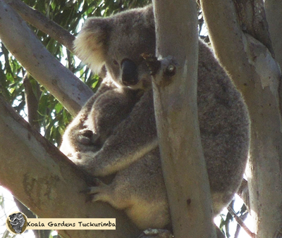 Bertha a female wild koala with back young joey