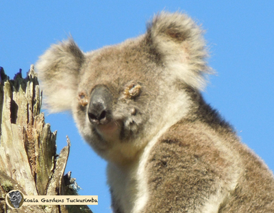 A female koala with severe conjunctivitis from chlamydia infection in her eyes