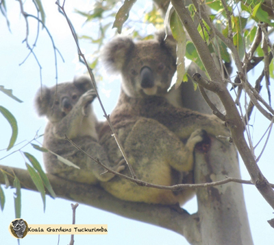 Blossum is a mature female koala and is pictured here with her healthy joey