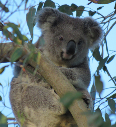 BMax was a sub-adult male koala that pictured here when he was first spotted and identified