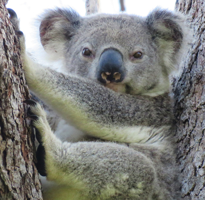 Bullet - a young male koala who arrived at Koala Gardens in 2017 and fought his way into the colony