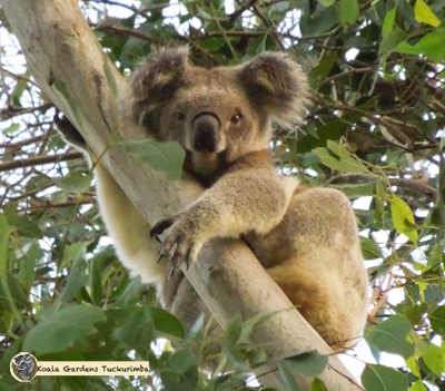 chrissy is a male koala that was on the property for a short time during 2015