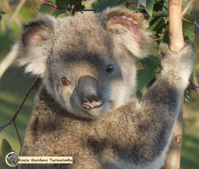 Clinger was an alpha male koala that lived on the property during 2015 and was popular all around the world