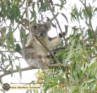 Corky is a female wild koala with a joey in her pouch