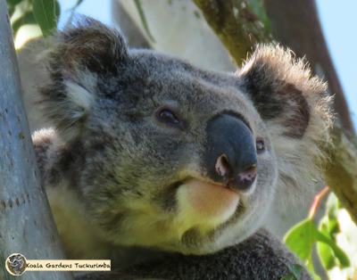 Cyrano is a mature male koala that has been seen on the property during 2016