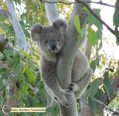 Dewy is a young male koala that was on the property for a short time during 2015