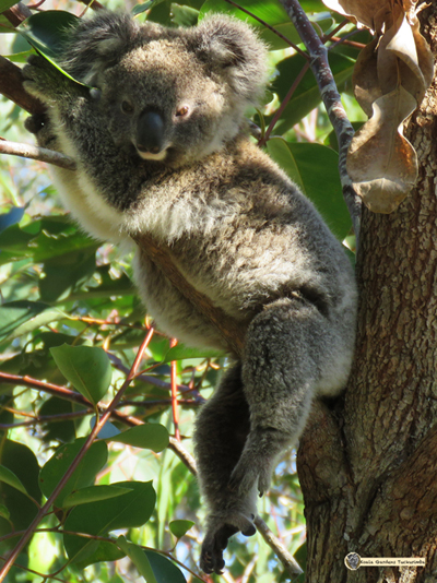 Enigma is a large joey who has become a sub adult and is living at koala gardens, he is pictured draped over the limb of a young tree