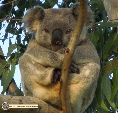 Ernie is a mature alpha male koala that travelled through the Koala Gardens property during 2015