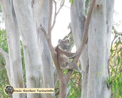 Fonzy is a mature male koala that was seen at Koala Gardens during the year 2015