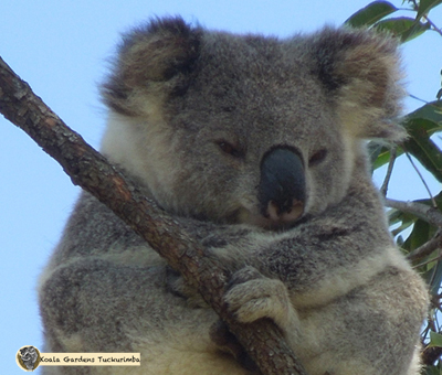 Galilee was a mature female koala that only spent a short amount of time on the property
