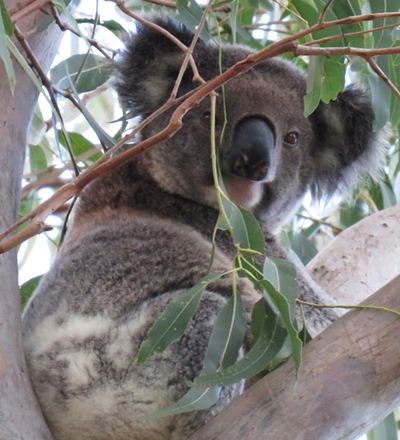 Gizmae is a healthy female koala who was found at Koala Gardens