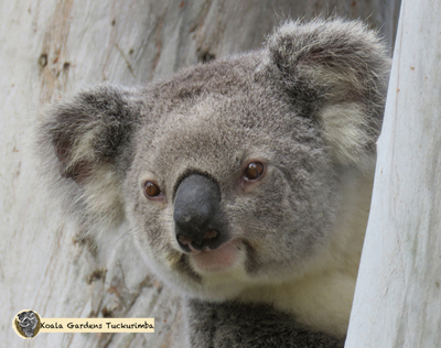 Glory was a koala that was rescued from near Koala Gardens and was released here during 2016 but she must have made her way back to her orginal home range as a healthy koala.