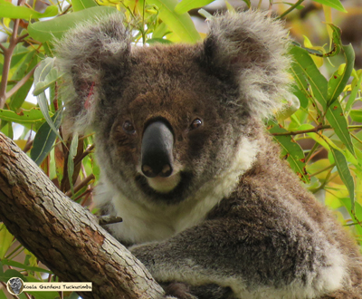 Greta is the oldest koala on the property - a beautiful female that was 11 years old in 2016