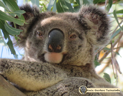 Gunner is a young male koala that came through the property in 2016 looking for a place to settle.