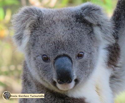 Helix is a young male koala that came through the property looking for a place to settle.