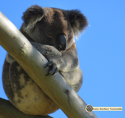 Jordan is an alpha male that has breeding rights in the Koala Gardens colony
