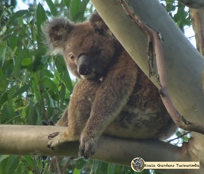 Legion is a male koala and this photo was taken on the very first day he was every sighted on the property