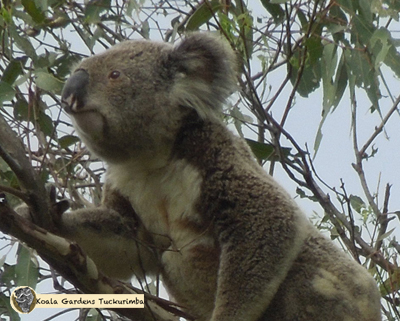 Lofty was a mature male koala with a Chlamydia infection which is one of the major disease affecting koalas in Australia today