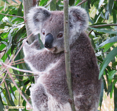 Maxine is an established female koala in the colony now but only arrived here later 2016