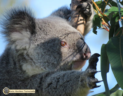 Mist is the colony matriarch and is a wild female koala pictured here at Koala Gardens in 2016