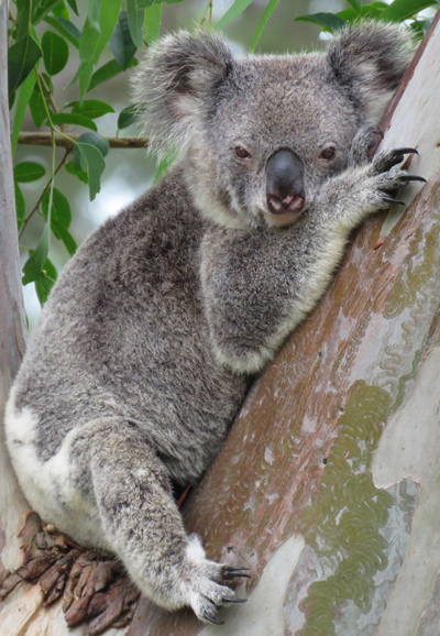 Mist is the matriarch koala of the colony and pictured here in a forest red gum
