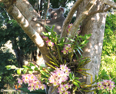 Orchid is a wild koala pictured here within a mass of flowering tree orchids