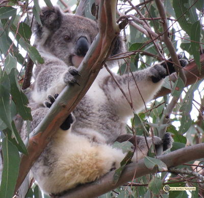 Racee is a young female koala that arrived as a sub adult and has become an important part of the colony
