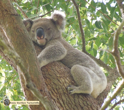 Scout is a male koala that was found at Koala Gardens