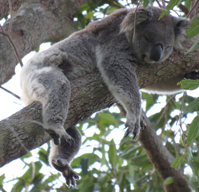 Stan is a young male koala pictured her draped over a large forest red gum limb sleeping