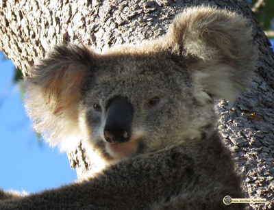 Stevie arrived at Koala Gardens in late 2016 as a sub adult and has become part of the property
