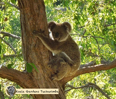 Sully is a mature female koala who was only seen on the property once with her large healthy joey