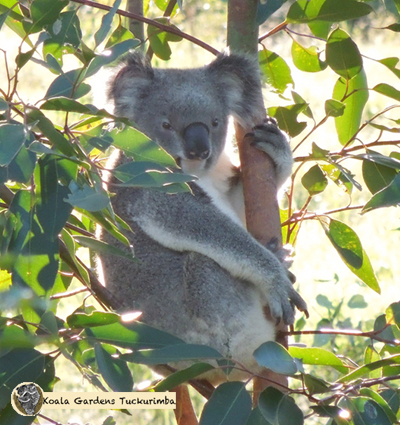 Tootsie is a healthy male wild koala that was seen on the property during 2015