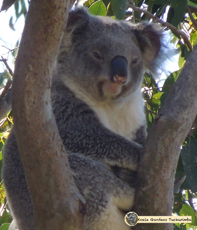 Winifred is a mature female wild koala that was seen on the Koala Gardens property during 2015