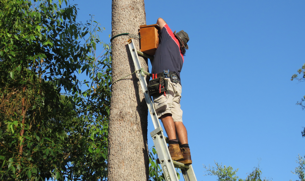 Installation of one of twelve nesting boxes in a range of trees across Koala Gardens