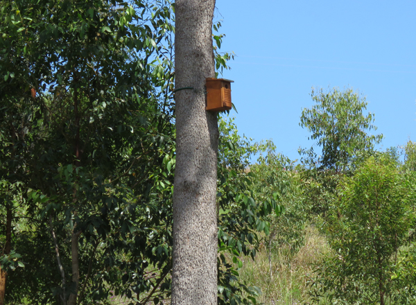 Little lorikeet nesting box on pink bloodwood facing north
