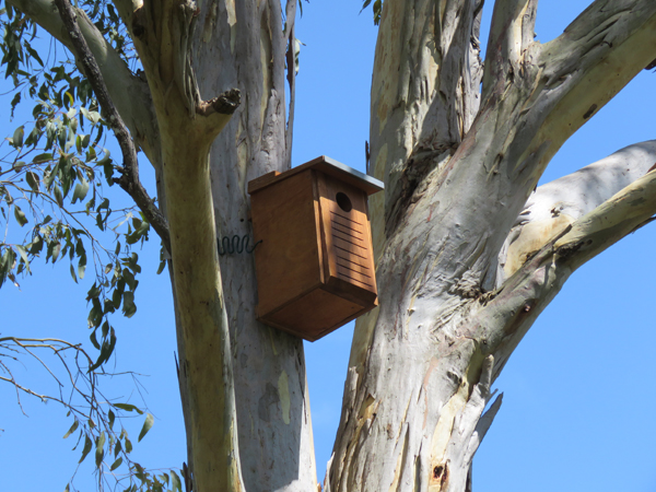 Little lorikeet nesting box in mature forest red gum in middle of property facing east