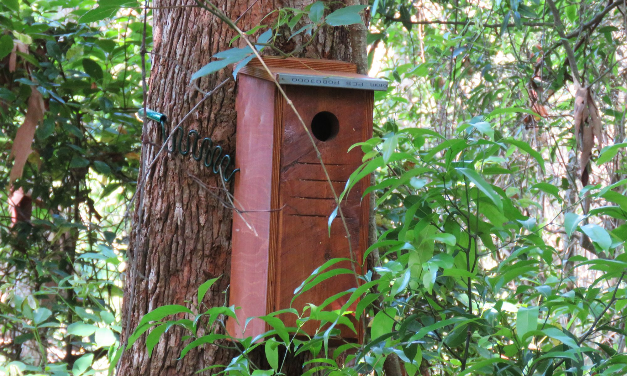 Squirrel glider box on bloodwood tree