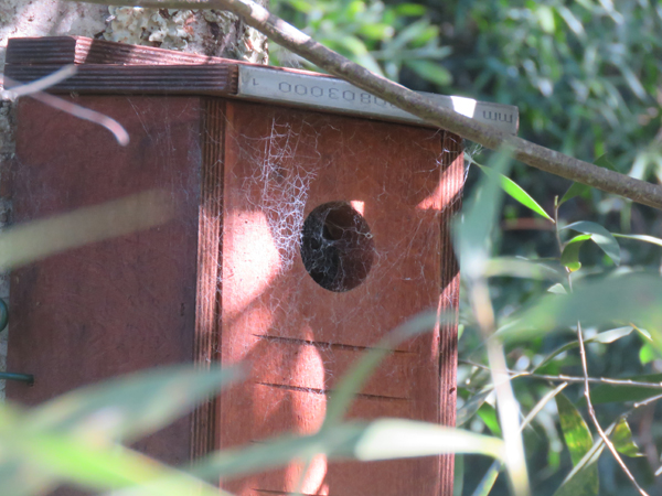 Cobwebs observed at opening to squirrel glider nesting box - during routine data collections.