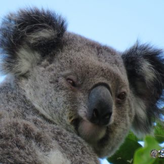 Racee is a beautiful female koala that lives at Koala Gardens