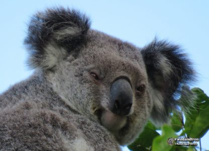 Racee is a beautiful female koala that lives at Koala Gardens