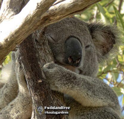 Adopt Hugo from Koala Gardens