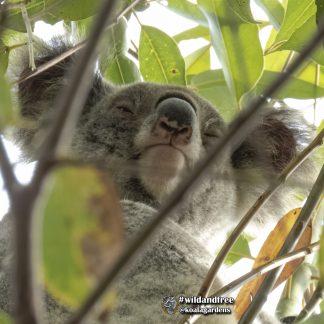 Adopt the beautiful Jackie from Koala Gardens