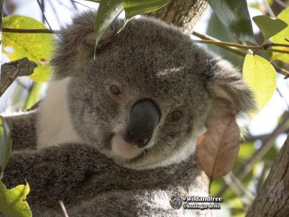 Matilda is a beautiful female koala you can adopt from Koala Gardens