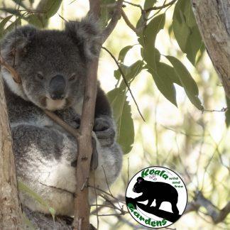 Adopt Luna at Koala Gardens