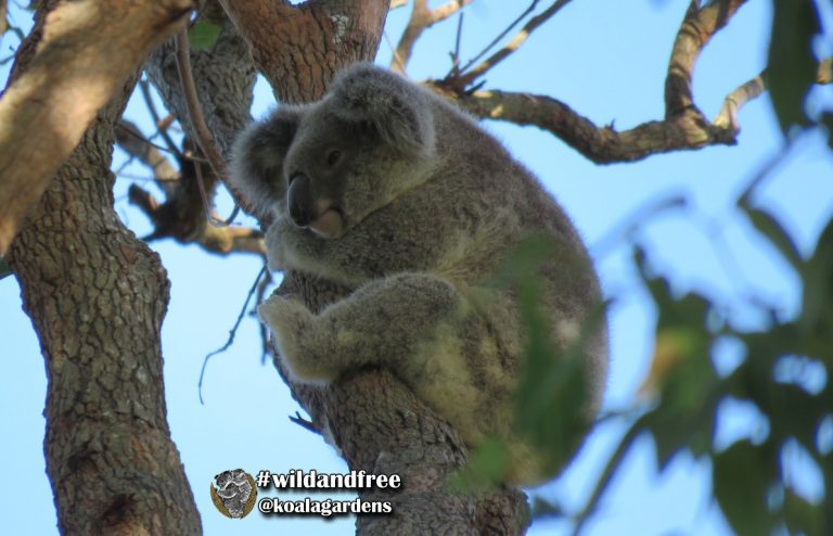Dewdrop - young female koala born at Koala Gardens in 2018