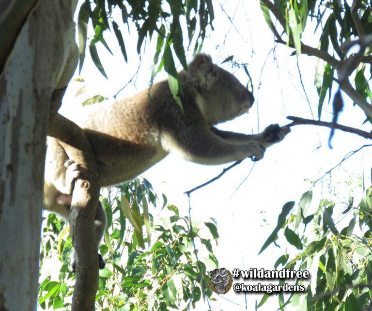 Bullet male koala