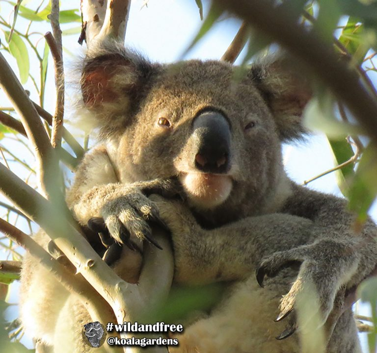 Hugo male koala
